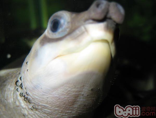 猪鼻龟1.jpg