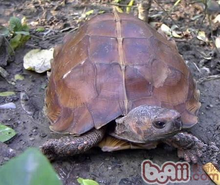 扁山龟.jpg