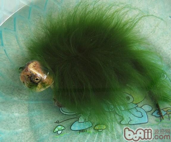 绿毛龟.jpg