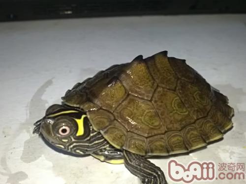 家庭养龟对家居风水的影响(图)-轻博客