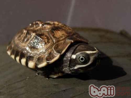 马来食螺龟.jpg