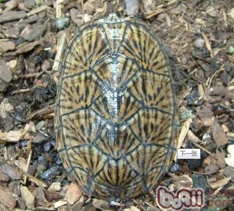 虎纹麝香龟.jpg