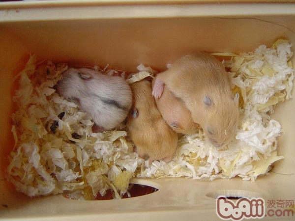 不同品种仓鼠交配产什么宝宝?(图)