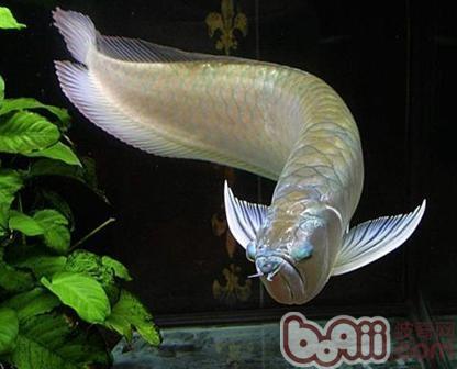 银龙鱼.jpg