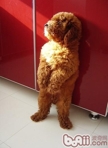 关于小型犬的腰椎问题