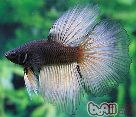 泰国斗鱼常见的五种疾病