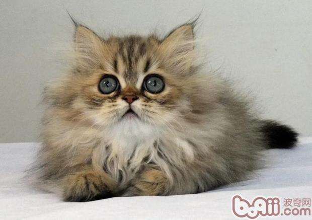 与金吉拉猫相处的小技巧