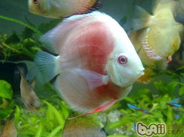 常见观赏鱼品种大全