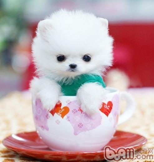 关于茶杯贵宾犬生理周期的介绍