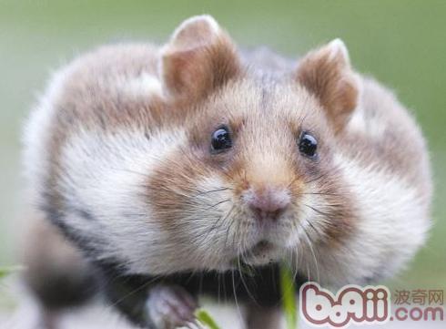 如何照顾怀孕的仓鼠-轻博客