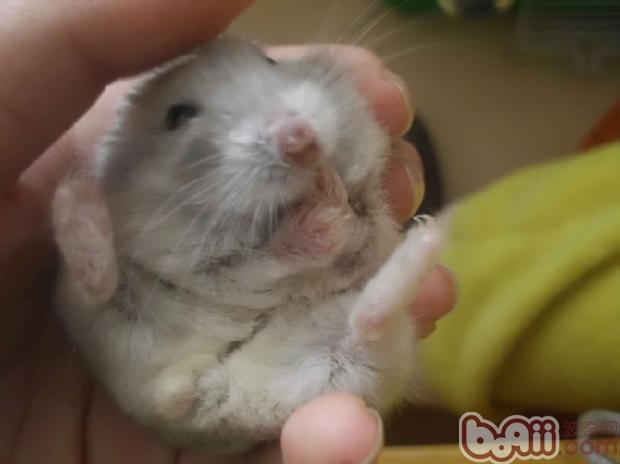 宠物仓鼠皮肤病的介绍