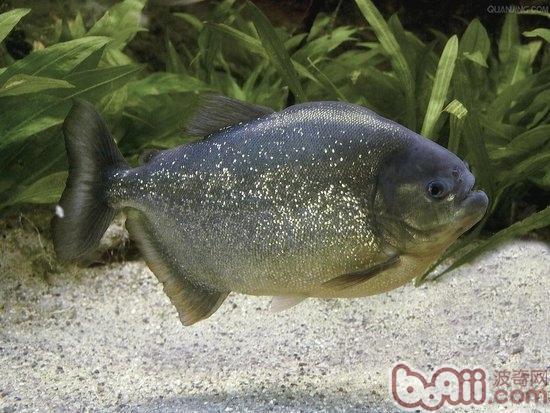 介绍—穷凶极恶的水虎鱼