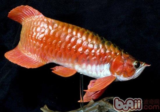 怎样区分过背金龙鱼和红尾金