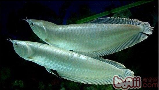 银龙鱼吃什么长得比较快