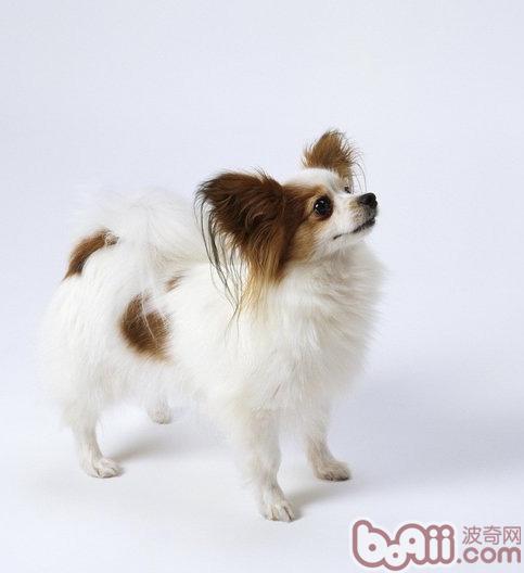 关于蝴蝶犬品种资料介绍