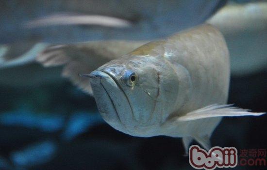 银龙鱼得了肠炎的症状及治疗