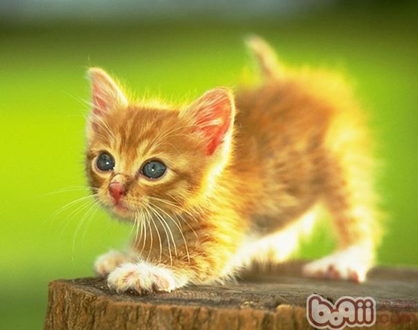 剖腹产的猫咪宝贝存活率低的原因
