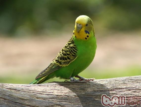 虎皮鹦鹉繁殖期要注意什么