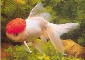 夏季金鱼烫尾病的防治