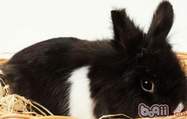 秋季兔兔的疾病预防措施