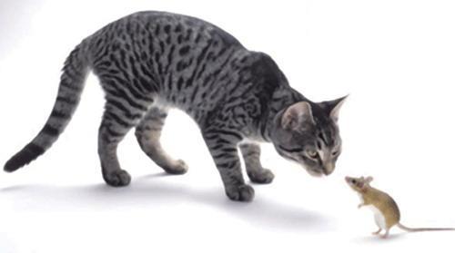 关于孕妇和猫咪弓形虫的问题