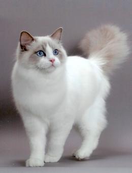 如何制止布偶猫的异常捕食行为