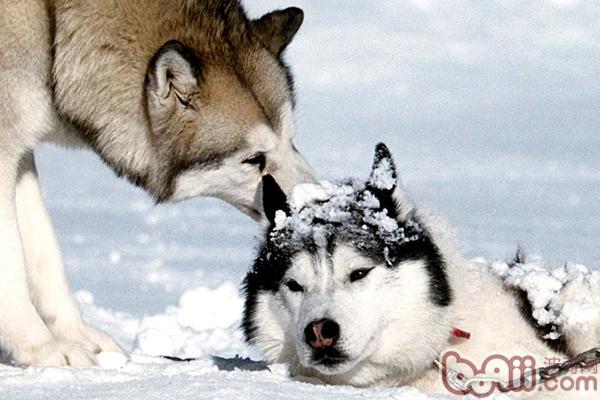 西伯利亚雪橇犬的训练方法