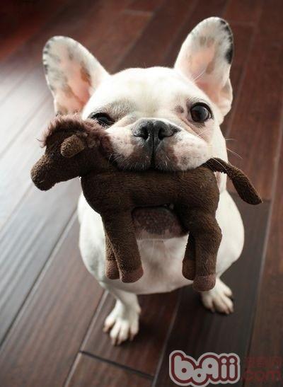 购买法兰西斗牛犬的注意点
