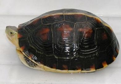黄缘闭壳龟的生活习性