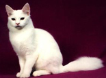 土耳其安哥拉猫的CFA标准