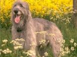 爱尔兰猎狼犬(Irish Wolfhound)品种介绍