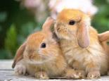 兔子的主要分类体系
