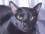 猫咪品种资料:关于孟买猫的知识介绍