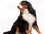 伯恩山犬(Bernese Mountain Dog)品种介绍