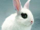 侏儒海棠兔的基本特征