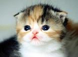 小猫要防止的三类皮肤疾病
