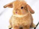荷兰垂耳兔的基本特征