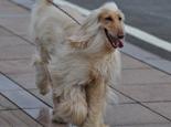 阿富汗猎犬(Afghan Hound)品种介绍