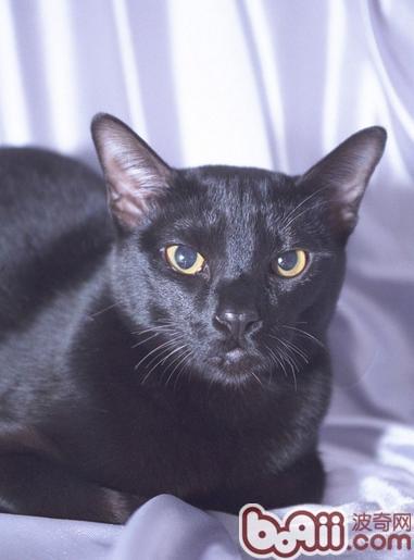 猫咪品种资料:关于孟买猫的知识介绍 猫咪品种 波奇网百科大全