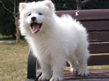饲养萨摩耶幼犬的几大要点