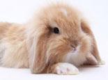 荷兰侏儒兔的基本特征