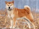 柴犬是什么品种?