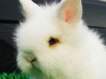 澤西長毛兔的品相特征