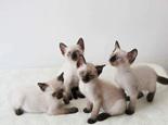 关于暹罗猫的详细介绍资料