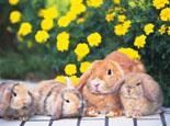 宠物兔的发展历史