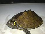 关于密西西比地图龟的介绍(图)