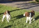 英国史宾格犬(English Springer Spaniel)品种介绍