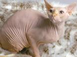 加拿大无毛猫被正式确认为新猫种