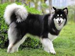 阿拉斯加犬品种介绍