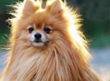 怎样确定母犬最佳配种期